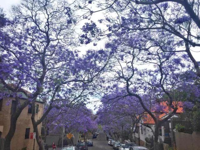 留学感想:在悉尼,邂逅蓝花楹